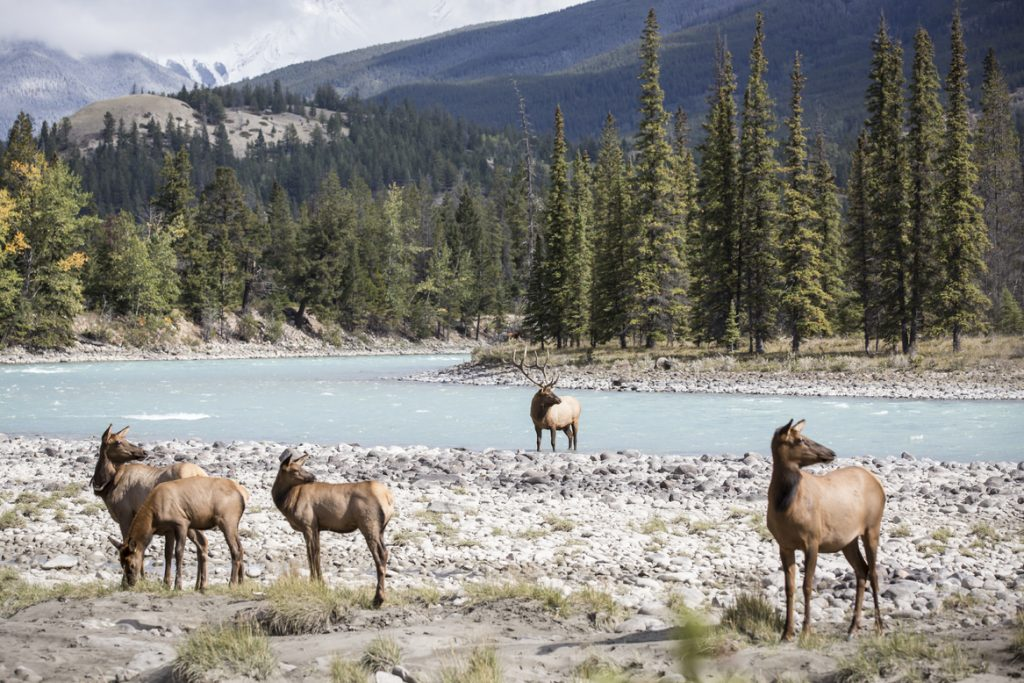 Jasper Elk on Athabasca River